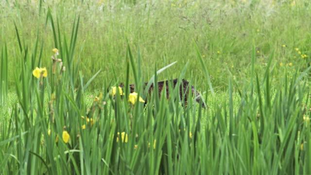 MS PAN Brown tabby domestic cat walking behind yellow iris / Vieux Pont, Normandy, France
