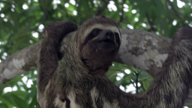 brown throated, three-toed sloth, peruvian amazon, peru - laziness stock videos and b-roll footage