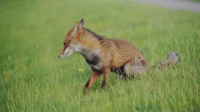 a brown urban fox in greenwich london resting on the grass then runs away - wide shot - animal nose stock videos & royalty-free footage