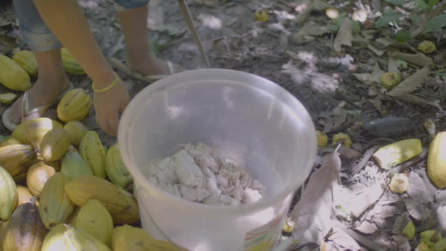 brown woman with indigenous features cutting a lot of yellow cocoa fruits (theobroma cacao) and putting them seeds in a plastic bucket, throwing the peel on the ground - cocoa powder stock videos & royalty-free footage