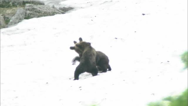 brown-bearss Daisetsuzan Volcanic Group Hokkaid_
