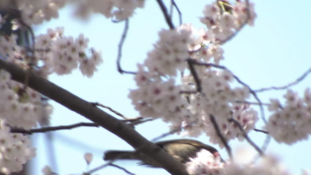Brown-eared Bulbul And Cherry Blossoms, Japan