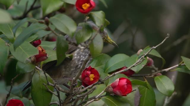 vídeos y material grabado en eventos de stock de brown-eared bulbul eating honey of camellia flower - pistilo