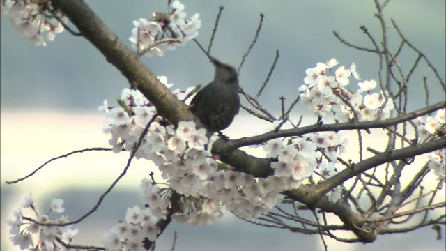 a brown-eared bulbul flits on branches as it forages on cherry blossoms. - 枝 植物部分 個影片檔及 b 捲影像