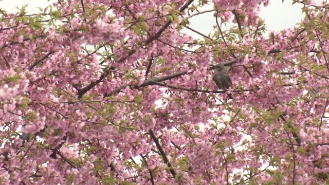 vidéos et rushes de brown-eared bulbuls and kawazu-zakura, okayama, japan - bouton de fleur