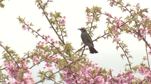 brown-eared bulbuls and kawazu-zakura, okayama, japan - springtime stock videos & royalty-free footage