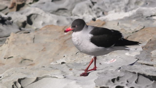 Brown-headed Gull, Saunders Island, Falkland Islands