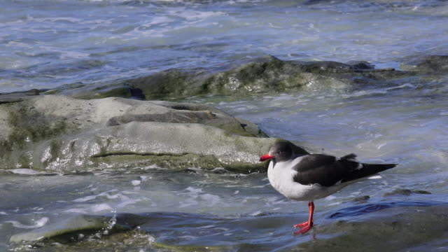 brown-headed gull, saunders island, falkland islands - sea bird stock videos and b-roll footage