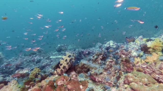 brown-marbled grouper (epinephelus fuscoguttatus) swimming on tropical underwater coral reef - grouper stock videos & royalty-free footage