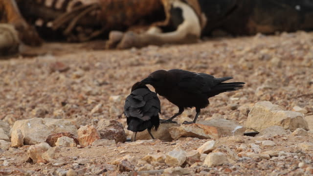 Brown-necked Raven (Corvus ruficollis)- 2 ravens clean each other