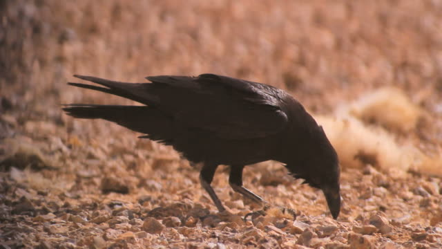 Brown-necked raven (Corvus ruficollis) and common raven (Corvus corax) feeding on Camel carcas in the desert