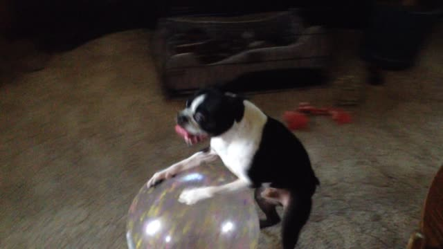 vídeos de stock, filmes e b-roll de bruce the boston terrier shows off his silly side whenever his favorite ball is in sight. in this instance, it looks like he's trying to show off his... - terrier