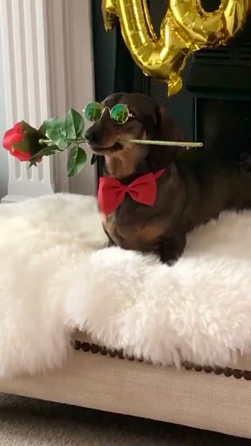 bruce the miniature dachshund dog patiently poses with a single red rose in his mouth while his owner snaps multiple photographs of him. bruce is... - sunglasses stock videos & royalty-free footage