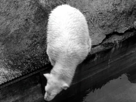 brumas the polar bear moves around his pen at london zoo 1950 - zoo stock videos & royalty-free footage