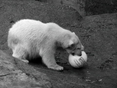 brumas the polar bear plays with a football in his pen at london zoo 1950 - pen stock videos & royalty-free footage