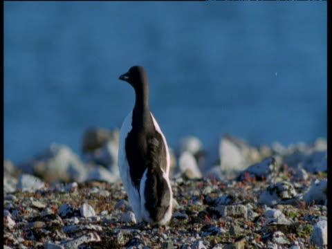 vídeos de stock e filmes b-roll de brunnich's guillemot chick follows adult across beach, svalbard - vida de bebé