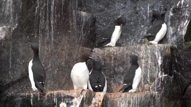 brunnich's guillemot on a rocky shore, svalbard - auk stock videos & royalty-free footage