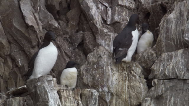 Brunnich's guillemots and their chicks nest on a cliff in Miller's Camp in Svalbard, Norway.