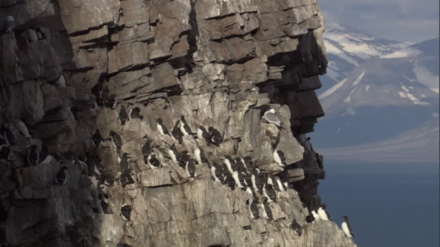 brunnich's guillemots nest on a cliff face. - cliff stock videos & royalty-free footage