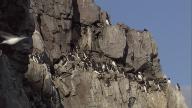 brunnich's guillemots nest on a cliff face. - svalbard islands stock videos & royalty-free footage