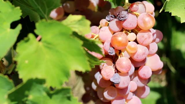 brush pink grapes