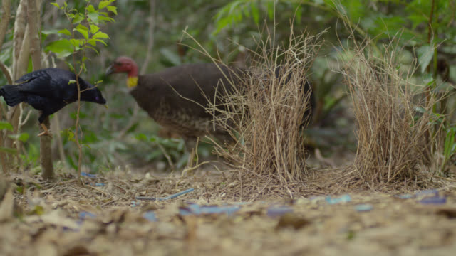 Brush turkey (Alectura lathami) tramples on display objects around bower of satin bowerbird (Ptilonorhynchus violaceus), Australia