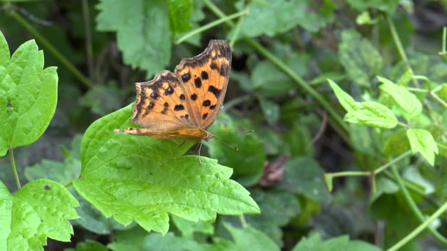 brush-footed butterfly (nymphalidae) flapping its wings - emergence stock videos & royalty-free footage