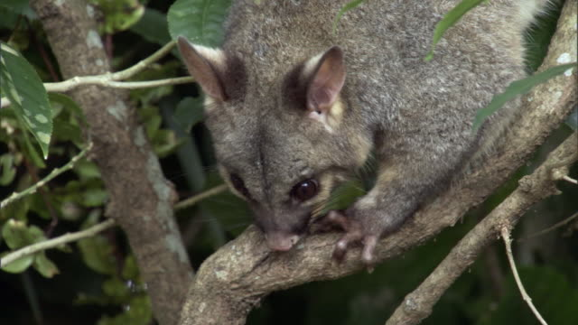vidéos et rushes de brushtail possum (trichosurus vulpecula) climbs in tree, new zealand - zone arborée