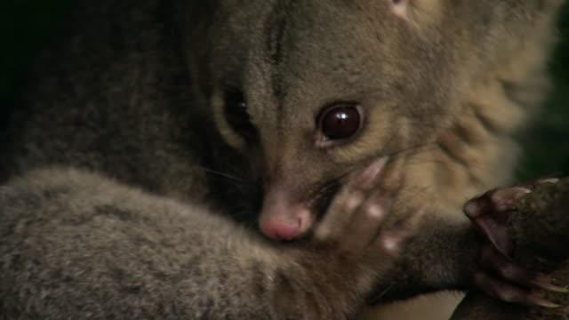 vídeos de stock, filmes e b-roll de brushtail possum (trichosurus vulpecula) grooms in tree, new zealand - marsupial