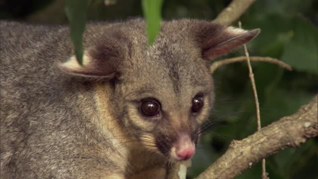 vídeos de stock, filmes e b-roll de brushtail possum (trichosurus vulpecula) looks around in tree, new zealand - marsupial