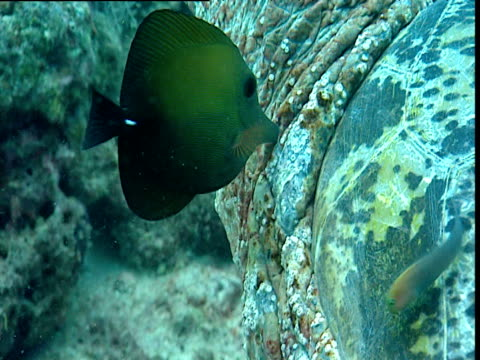 Brushtail tang cleans Green turtle neck, Sipadan