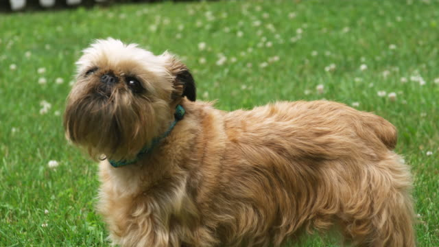 CU Brussels griffon in grass, barking / Manchester, Vermont, USA.