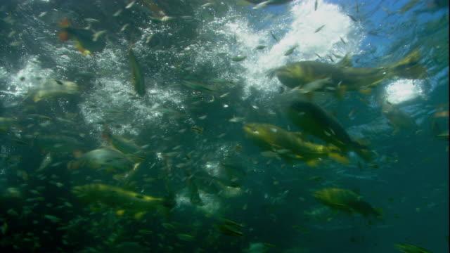 vídeos de stock, filmes e b-roll de brycon swim and feed just below a river's surface. available in hd. - cardume de peixes