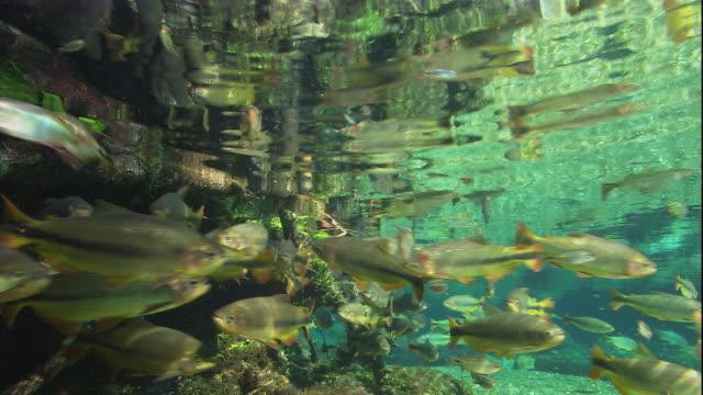 vídeos de stock, filmes e b-roll de brycon swim below a river's surface. available in hd. - cardume de peixes