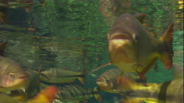 vídeos de stock, filmes e b-roll de brycon swim in a river. available in hd. - cardume de peixes