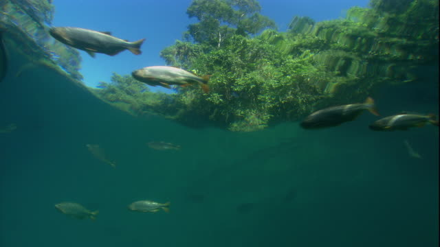 Brycons swim close to the surface of a river in Brazil. Available in HD.