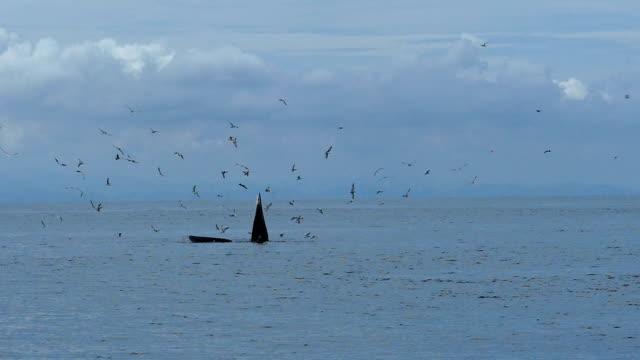 slo mo/ニタリクジラのクジラ ナガスクジラ属 edeni 小さな魚を食べる - シロナガスクジラ点の映像素材/bロール
