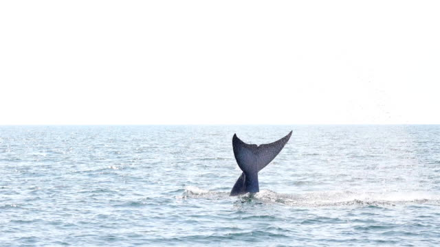 bryde's whale balaenoptera edeni eating - whale stock videos & royalty-free footage
