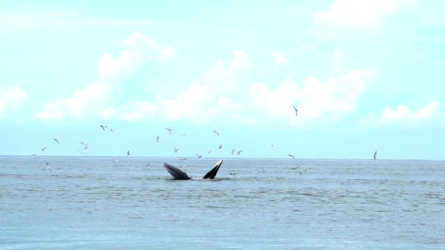 vídeos de stock, filmes e b-roll de baleia de bryde, baleia de éden, comendo peixe no golfo da tailândia. - baleia azul