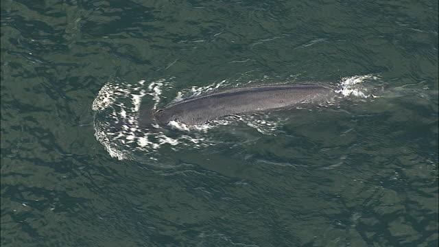 aerial bryde's whale swimming in ocean, cape of good hope, western cape, south africa - republik südafrika stock-videos und b-roll-filmmaterial