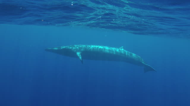 bryde's whale swimming near the surface in blue water, indian ocean, sri lanka. - one animal stock videos & royalty-free footage