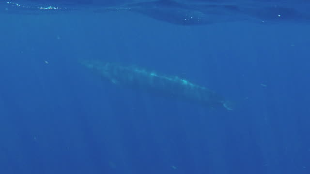 bryde's whale swimming near the surface in blue water, indian ocean, sri lanka. - fin whale stock videos & royalty-free footage