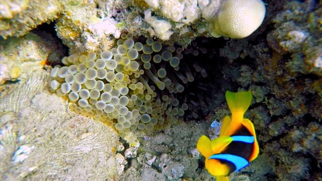 Bubble Tip Sea Anemones ( Entacmaea quadricolor ) and Clownfish on Red Sea - Marsa Alam