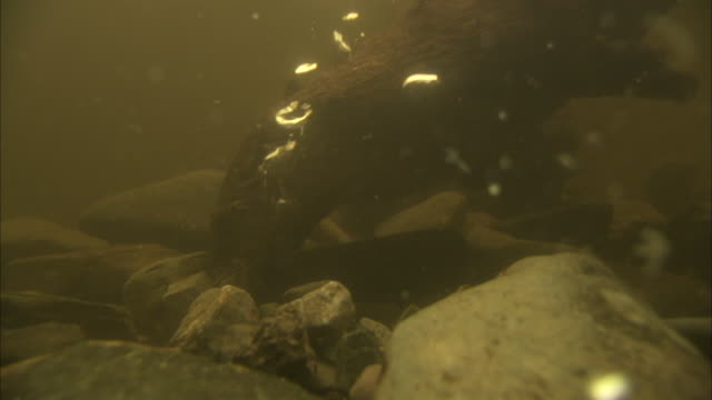 bubbles rise from the bottom of a tank where otters forage. - otter stock-videos und b-roll-filmmaterial