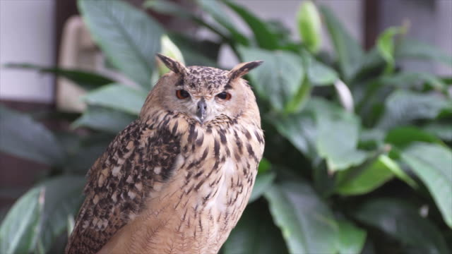 bubo bengalensis (bengal eagle owl) - one animal stock videos & royalty-free footage