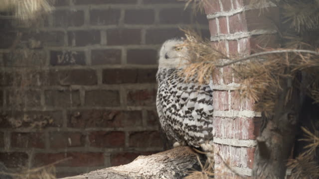 bubo scandiacus or snowy owl is hiding the building - snowy owl stock videos and b-roll footage