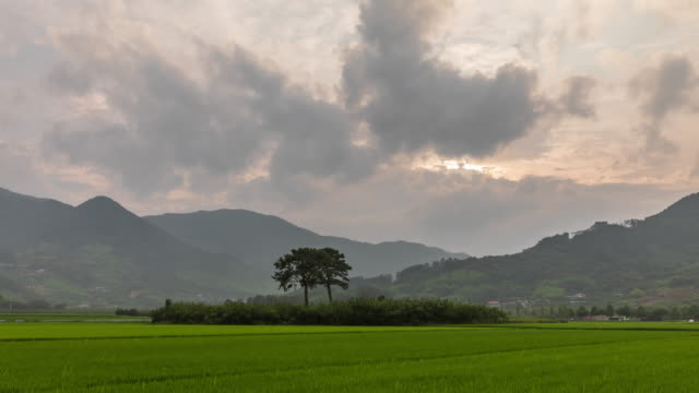bubusong (husband and wife pine tree) in farmland / pyeongsa-ri, agyang-myeon, hadong-gun, gyeongsangnam-do, south korea - south korea couple stock videos & royalty-free footage