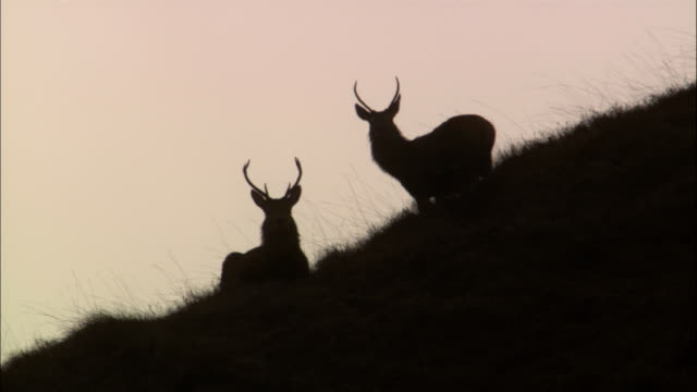 buck deer graze on a grassy hillside. - hirsch stock-videos und b-roll-filmmaterial