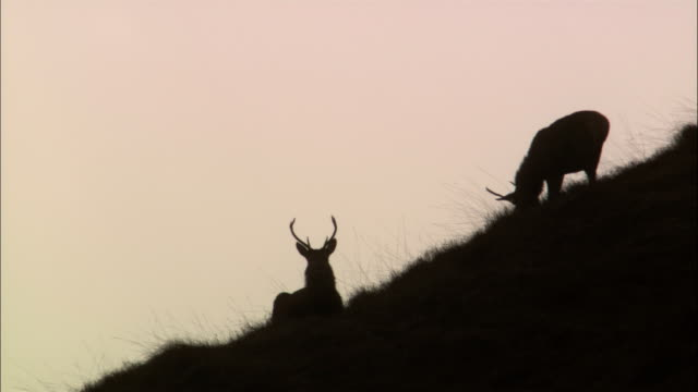 buck deer graze on a hillside. - antler stock videos & royalty-free footage