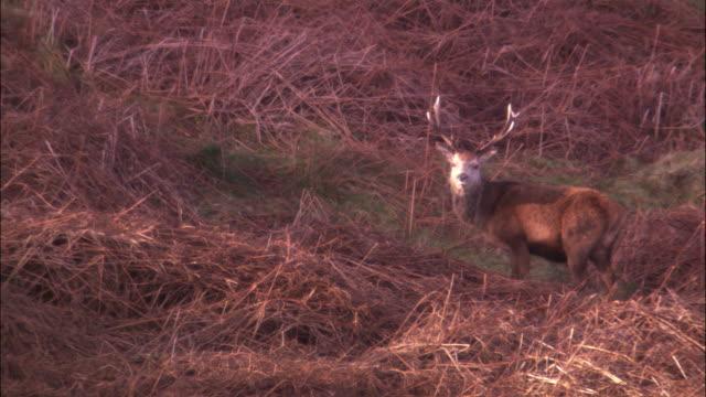 a buck deer grazes on a grassy hillside. - antler stock videos & royalty-free footage